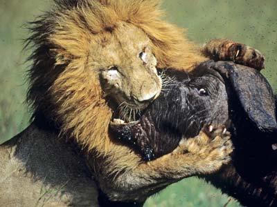 lion den pornyoung african porno